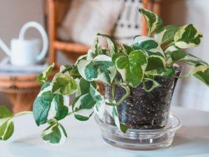 Plantas en el hogar Potus