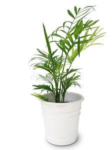planta  en el hogar palmera china
