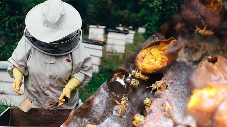 abeja-vanguardia-ansa-estado-lara-rescate-abeja-diana-dominguez (1) (1)