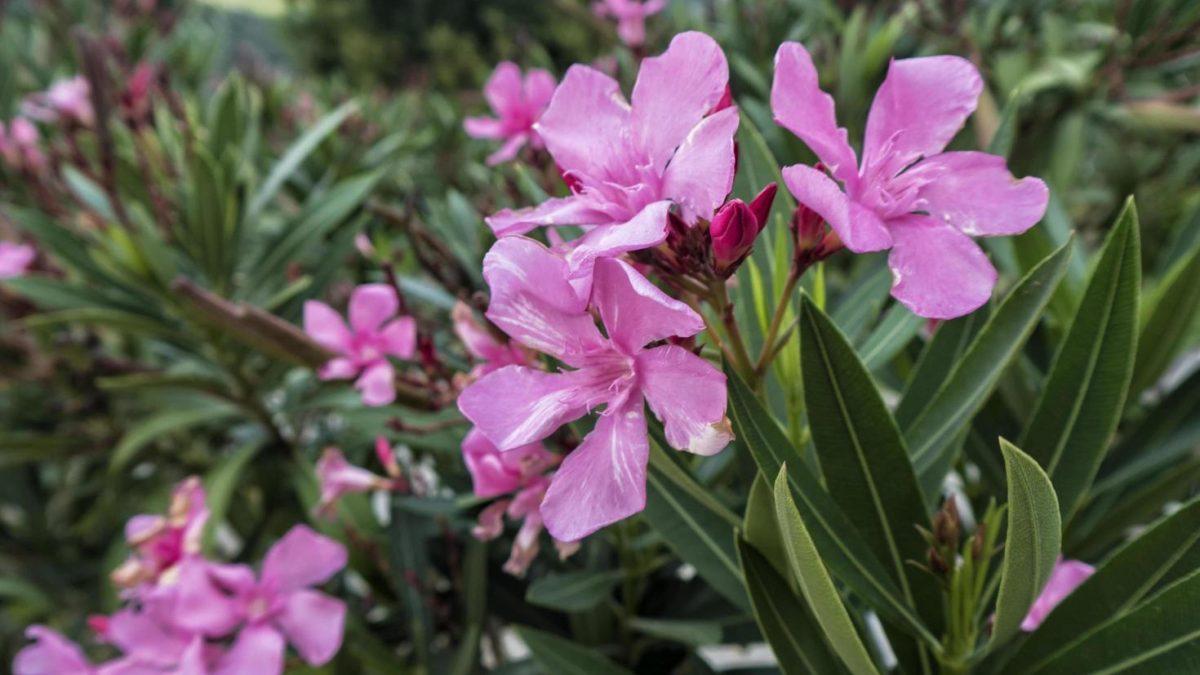 La adelfa comunmeente llamada como flor de laurel o trinitaria